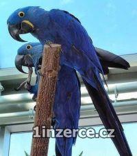 Ara Hyacint papoušek pro Prode