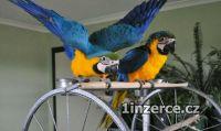 Zlaté A Modré papoušci Pro Pro