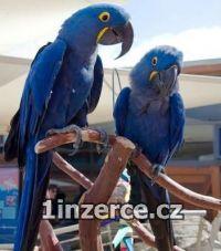 Očkované Hyacint papoušci pro