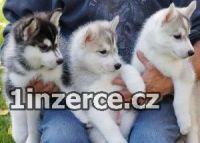AKC registrovaná sibiřská husi