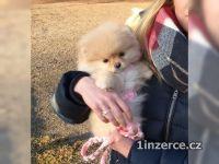 Pomeranian trpasličí pomeransk