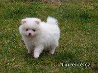 Pomeranian/ trpasličí špic