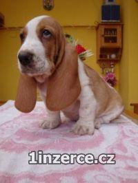 Basset hound, Basset, Baset
