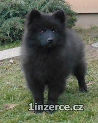 Německý špic velký černý prodá