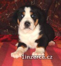Velký švýcarský sal. pes
