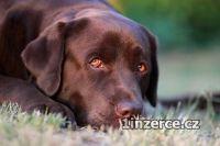 Labrador retriever s PP