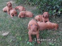 Maďarský ohař - štěňata