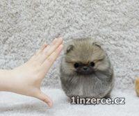 Pomeranian KC zaregistrováno