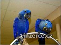 Deti Hyacint papoušek papoušci