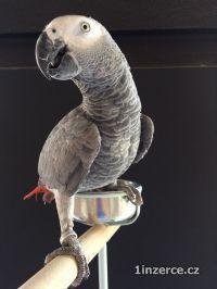 Africké šedé papoušky
