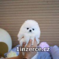 Pomeranian šteniatka