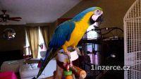 Prodám zlatá a modrá papoušek