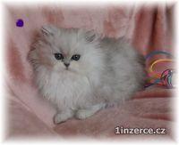 Koťata Koťátka Perská Činčila