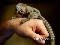 Marmose opice pro přijetí.