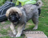 Šarplaninský pastevecký pes - s