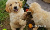 Zlatý retrívr - štěně