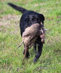 Labrador retriever - černá štěňa