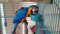 Ara Ararauna papoušci pro prod