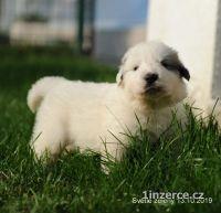Pyrenejský horský pes - štěňata