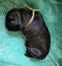 Šarplaninský pastevecký pes, ště