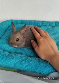Zakrslý králíček se saténovým