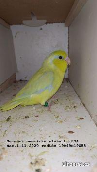 Papoušíček šedokřídlý mutace