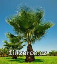 Washingtonia filifera - naklíč