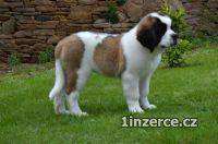 Svatobernardský pes - Bernardýn